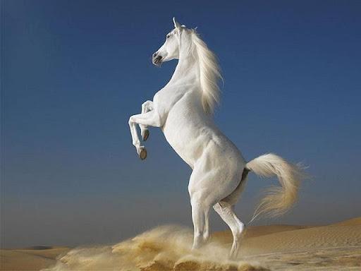 Ảnh 3: Ngựa trắng là điềm báo tốt lành